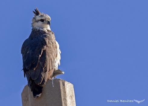 Chimango cordobés - Águila coronada