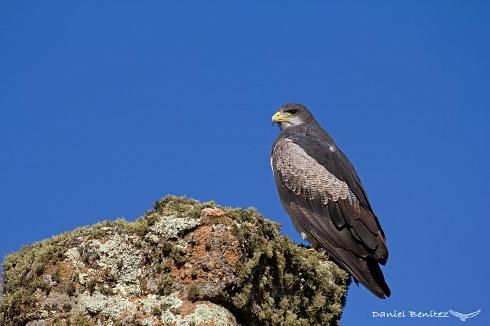 Guardián de montaña - Águila mora