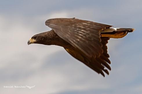 La negra bonita - Águila negra