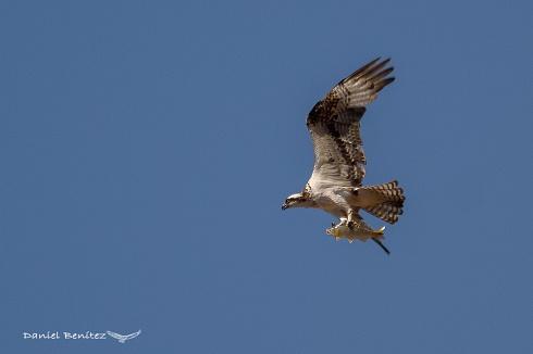¡¡Cómo en el patio de casa!!!! - Águila pescadora