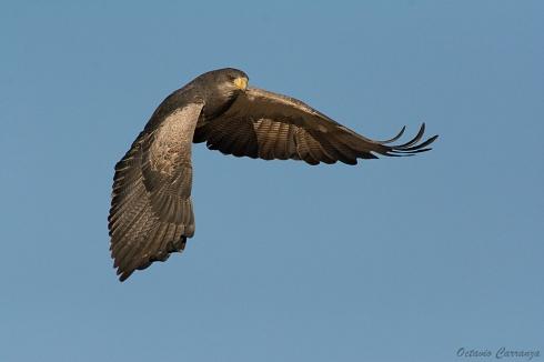 Aguila Mora en Quebrada del Condorito II