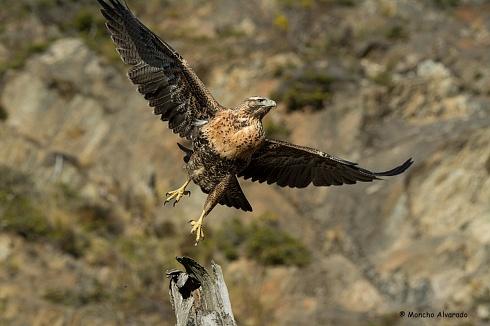 Águila Mora (juvenil)