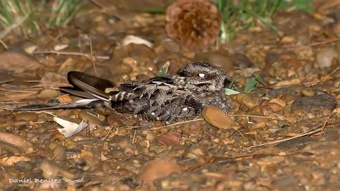 Búsqueda - Atajacaminos tijereta común hembra