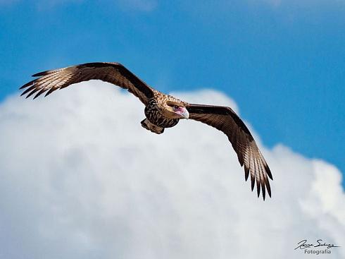 Carancho en vuelo