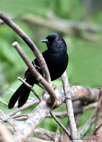 Batar� Negro - San Sebasti�n de La Selva