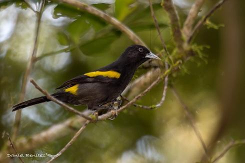 Primavera llegando - Boyero ala amarilla
