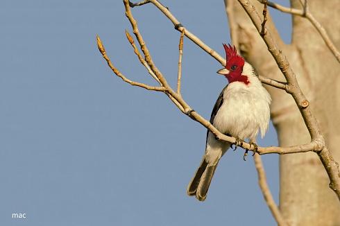 El cardenal ...