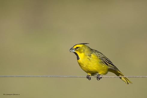 El amarillo