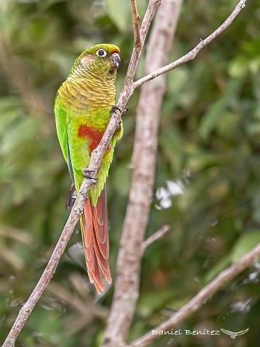 Lindo lorito - Chiripepe cabeza verde