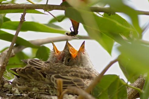Espiando el nido de churrinches