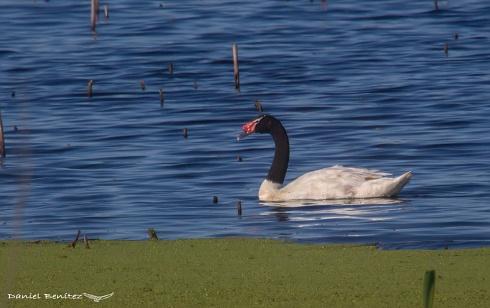 Afilando el ojo - Cisne cuello negro