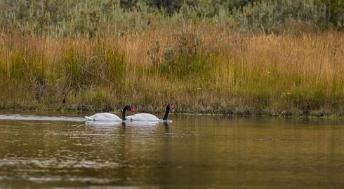 El lago de los cisnes.