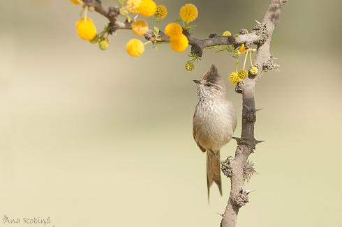 Coludito primaveral