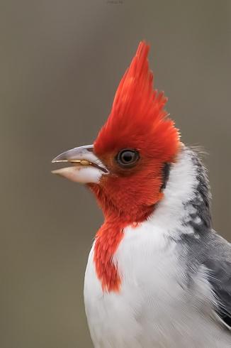 retrato de cardenal
