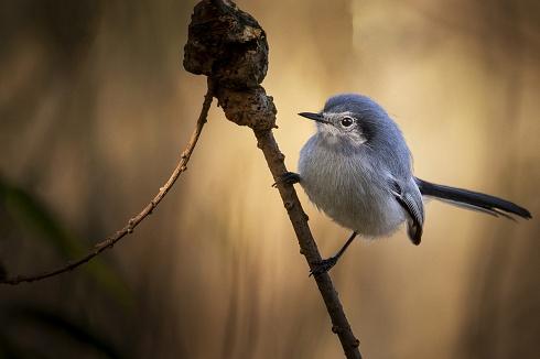 Tacuarita azul hembra