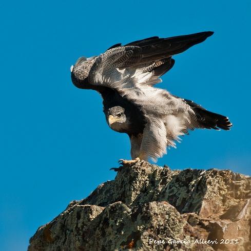 Aguila Mora al acecho...