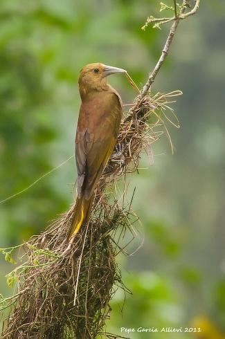 Oropéndola olivacea tejiendo su nido