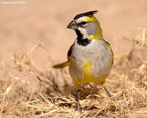 Cardenal amarillo (h)
