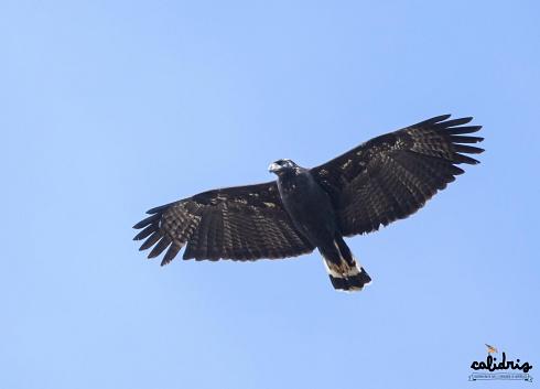 Aguila Negra