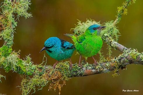 Colorida pareja de saíes...