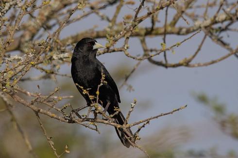 el negro cantor