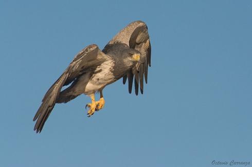 Aguila Mora en Quebrada del Condorito