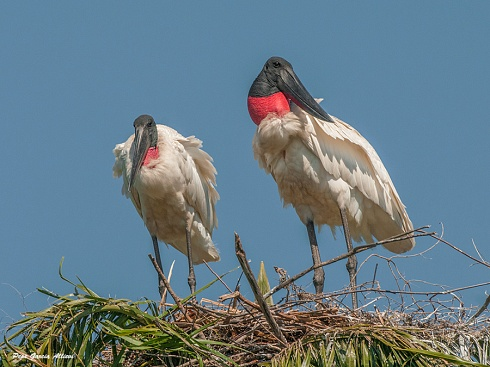 Casal de Yabirúes en nido