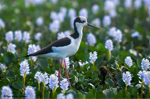 Terito y la flor del aguapey...