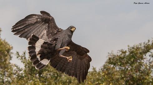 Gran Aguila Negra