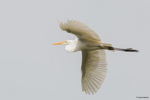 El arte de volar: Garza Blanca.