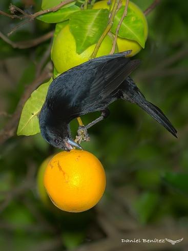Acorde al nombre - frutero negro