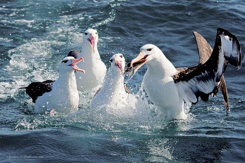 Albatros disputándose la comida en el mar.