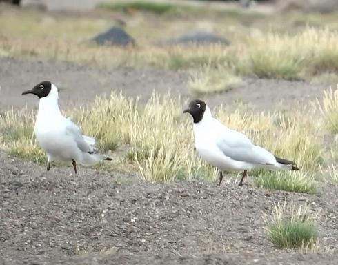 Gaviotas andinas en la Laguna del Diamante