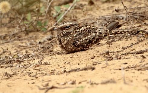 Atajacaminos tijereta común hembra