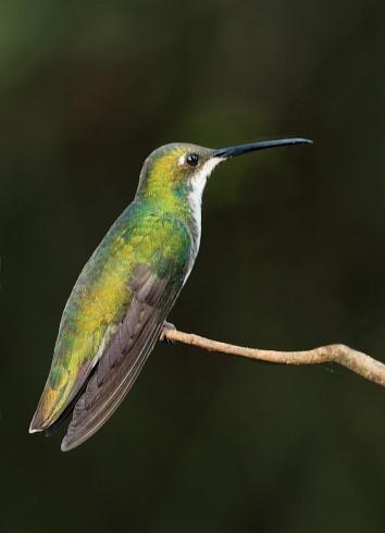Picaflor vientre negro (hembra)