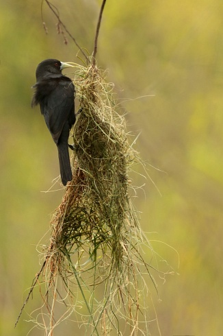 Construyendo el nido