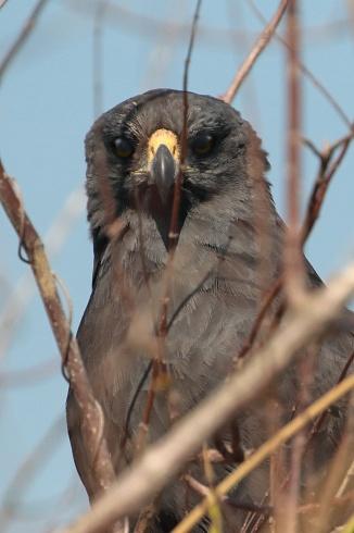 Águila negra