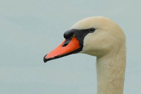 Cisne mudo