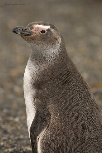 Pinguino Magallánico juvenil