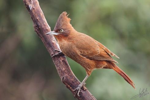 Cacholote casta�o - Pseudoseisura lophotes