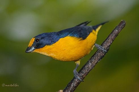 Tangara amarillo