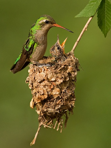 Picaflor y nido II