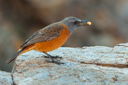 CAPE ROCK-THRUSH (Monticola rupestris)