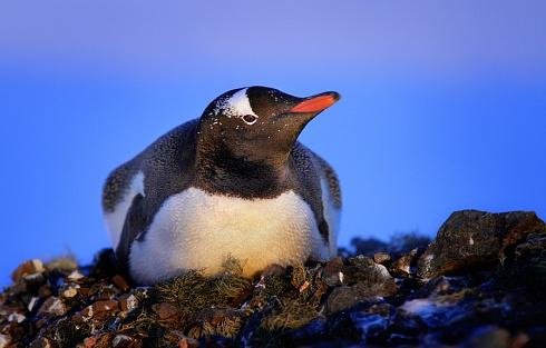 Pingüino de Vincha en su nido