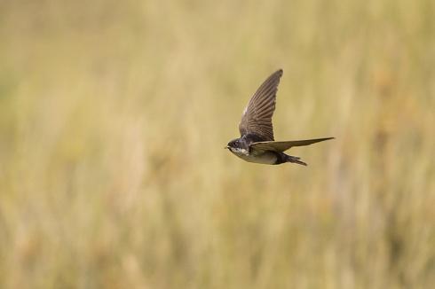 Barranquera en vuelo