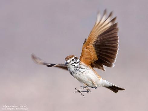 Monjita en vuelo