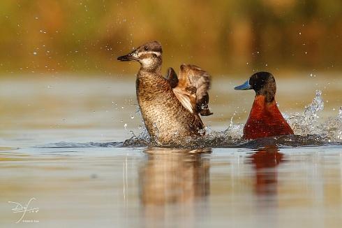 Pato zambullidor - La pareja en accion