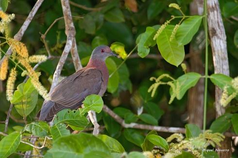 Paloma colorada
