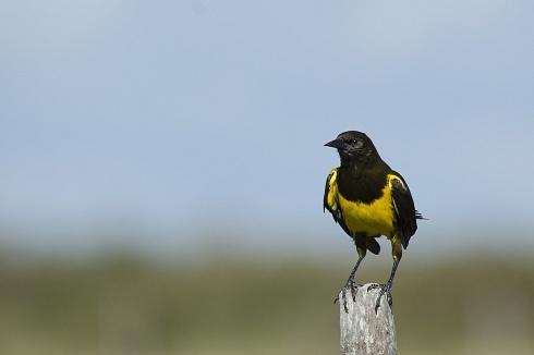 pecho amarillo grande (yuaseneger)
