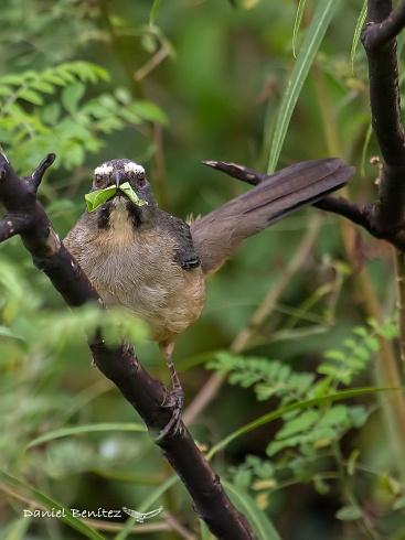 Mal de estómago - Pepitero gris